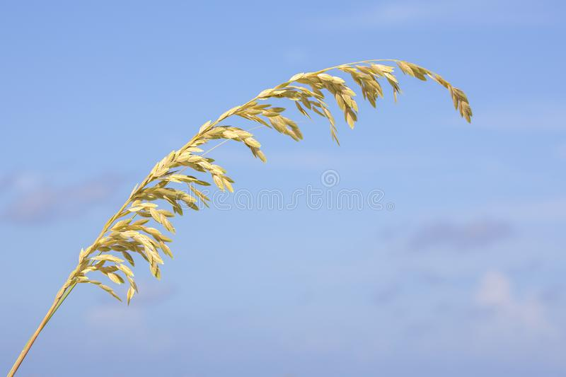Strand Of Sea Oats. A strand of sea oats over a blue sky royalty free stock photo
