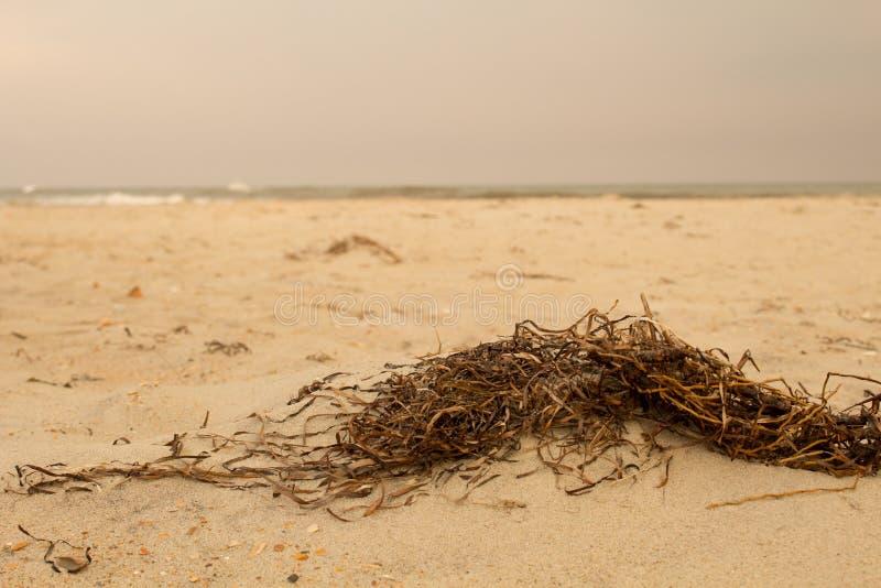Strand-Unkraut lizenzfreie stockbilder