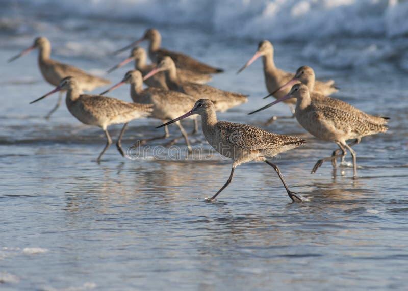 Download Strand vogels het lopen stock afbeelding. Afbeelding bestaande uit golven - 29507003