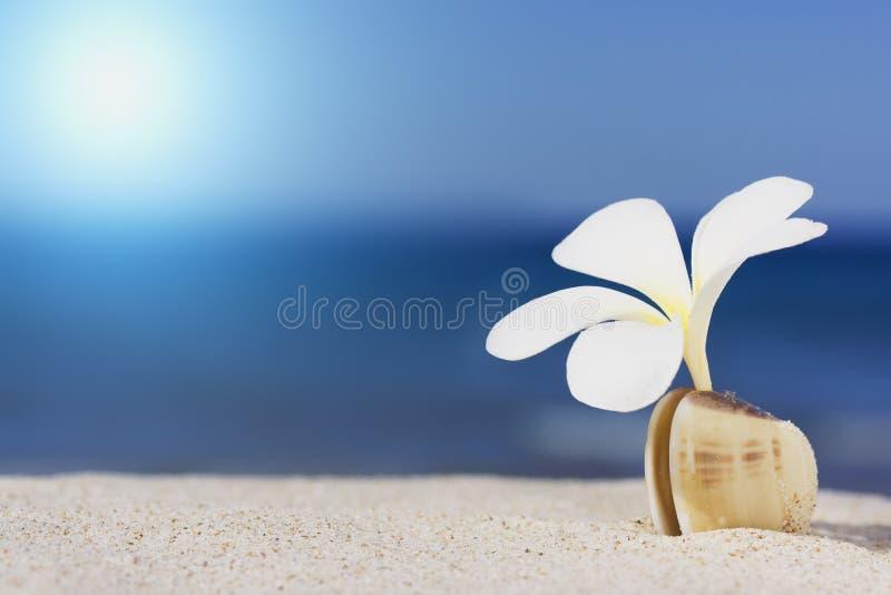 strandblommasnäckskal royaltyfri foto