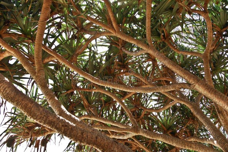 strandboom in Australië stock foto
