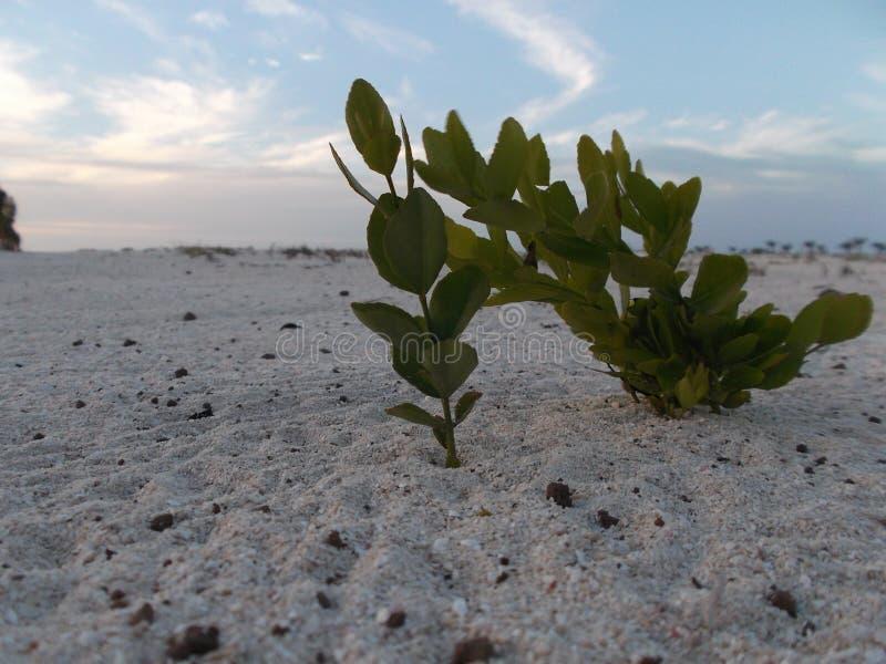 StrandbuskeMyoporum laetum Myoporum laetum Det är ett busketräd i familjscrophulariaceaen royaltyfria bilder