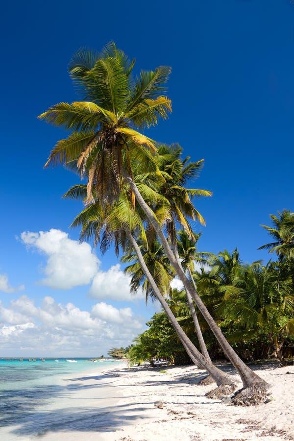 stranddominikanen gömma i handflatan tropiska tekniker-trees royaltyfri foto