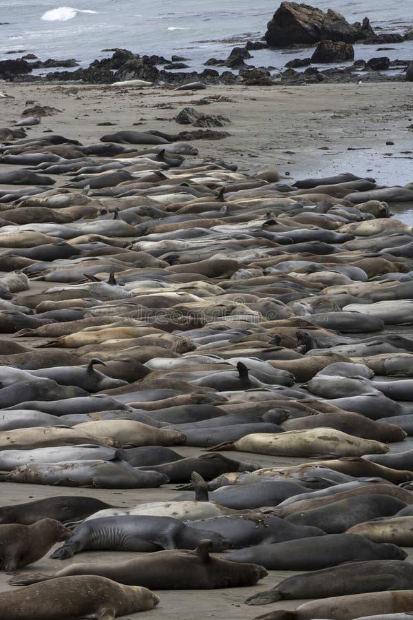 Stranden på Piedras Blancas Kalifornien täckte i nordliga elefantskyddsremsor royaltyfri fotografi