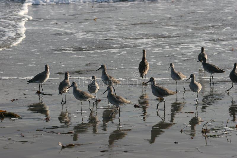 strandfåglar royaltyfria bilder