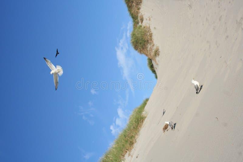 Download Strandfiskmåsar arkivfoto. Bild av gräs, kull, befjädrat - 993536