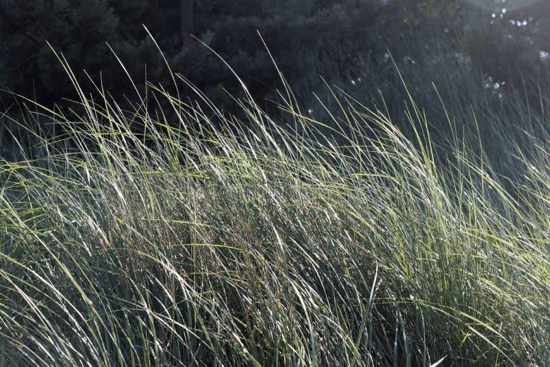 Strandgräser, die in der Brise durchbrennen lizenzfreie stockfotos