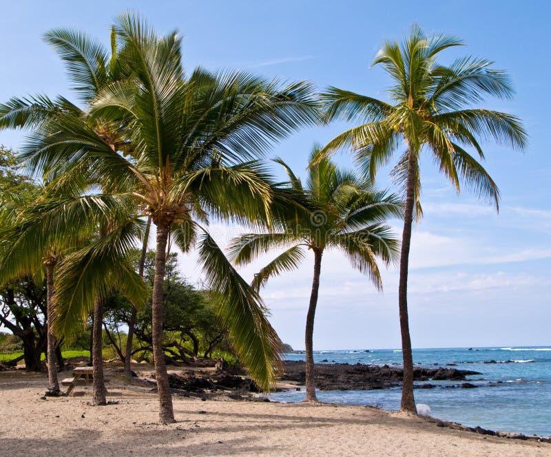 strandhawaiibopalmträd arkivbild