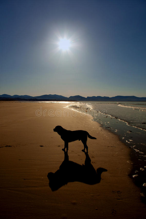 strandhundnewborough arkivbild