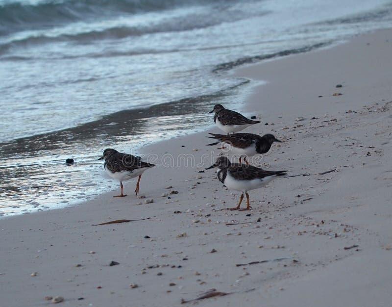 Strandlopers op Cubaans Strand stock fotografie