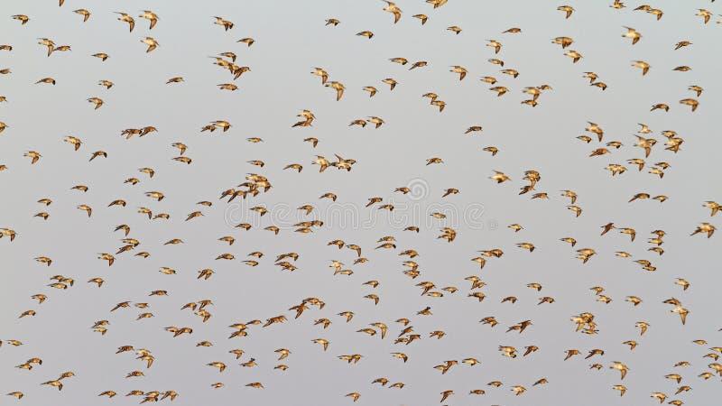 Strandlopers tijdens de vlucht op een achtergrond van grijze hemel royalty-vrije stock foto