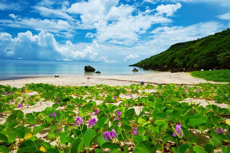 Strandmorgonhärligheten i den ARAGUSUKU-Kust-Ipomoea pesen-caprae, nolla arkivfoton