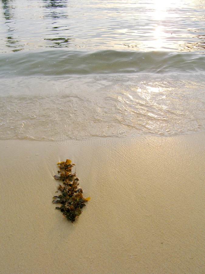 strandseaweedsolnedgång royaltyfri bild