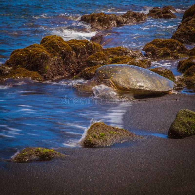 strandsköldpaddabränning som går i det Stillahavs- vattenhavet arkivbilder