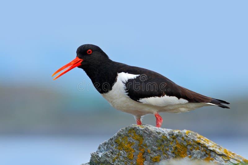 Strandskata i naturlivsmiljön Fågel i strandskatan för havskust, Heamatopus ostralegus, vattenfågel i vågen, med ope royaltyfri bild
