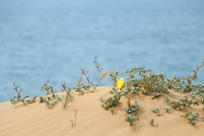 Strandvegetatie op een zandige heuvel, met een overzees op de achtergrond Sharon Beach Nature Reserve, Israël stock foto's