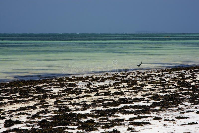strandzeewier en vogel in Zanzibar stock foto