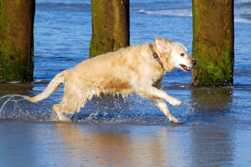 Strang Wangerooge des goldenen Apportierhund-morgens stockfotos
