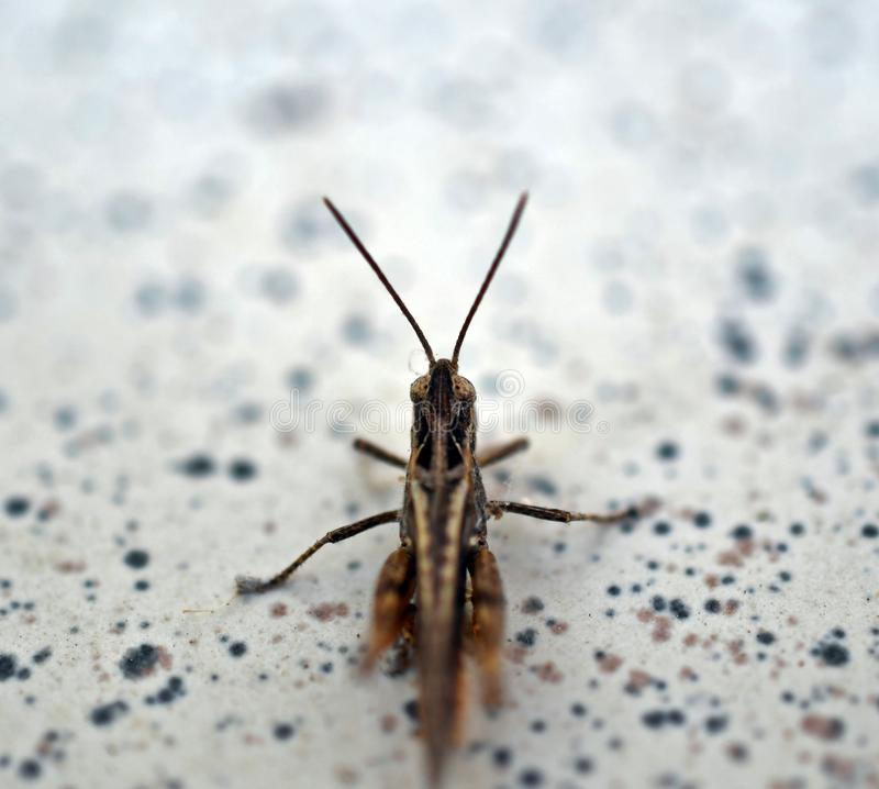 Strange background with a brown grasshopper. Grasshopper insect, Caelifera royalty free stock photography
