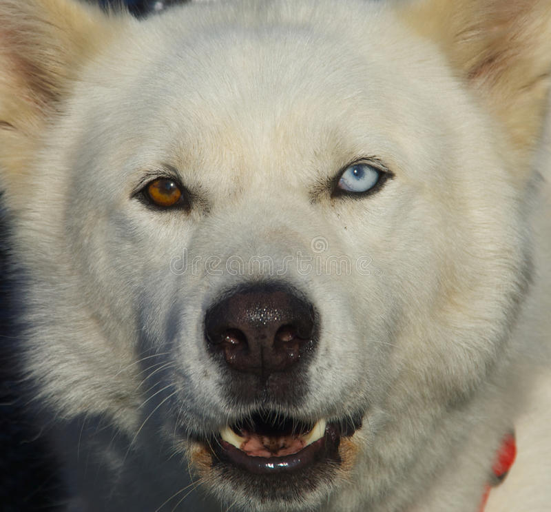 Strange Eyes. The Northern Inuit Dog is an unrecognised crossbred dog that originated the late 1980s, in an attempt to create a domestic dog breed more closely royalty free stock images