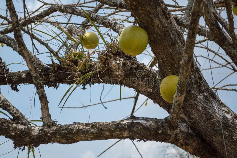 A strange fruit being born in the branches of a seemingly dry tree. Close view of a strange fruit growing in the branches of a seemingly dry tree royalty free stock photo