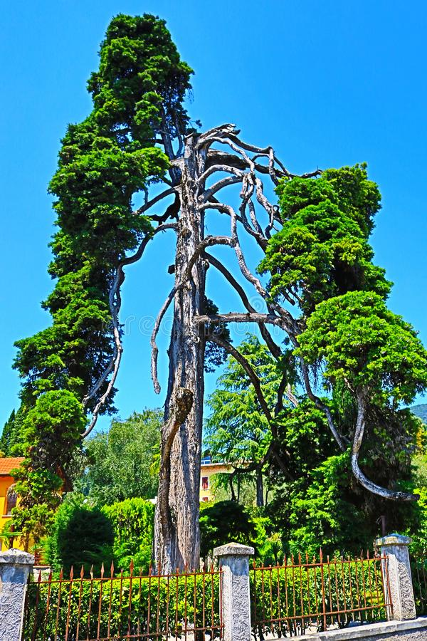 Strange pine tree in Gardone Riviera resort Italy royalty free stock photography