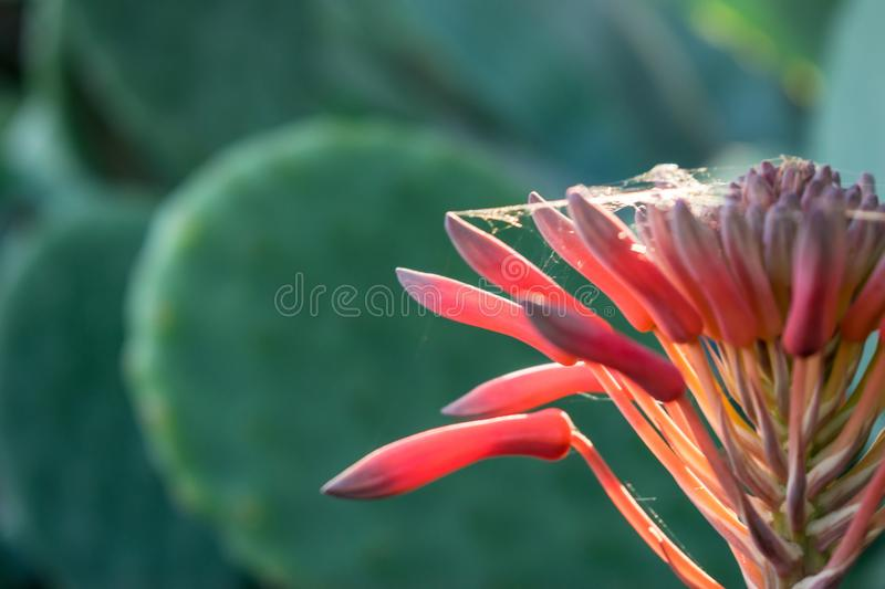 Strange red flower close up with spider web and background cactus stock photo