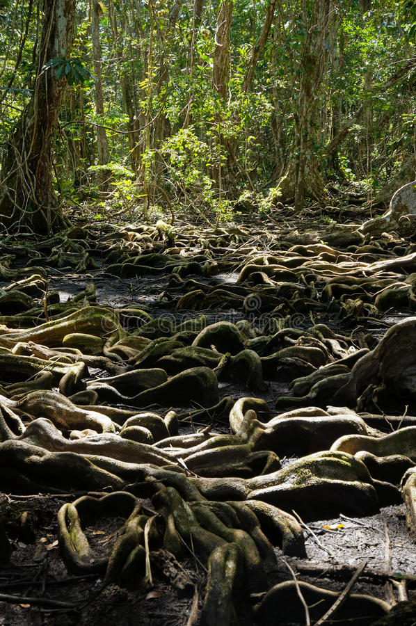 Free Strange Tree Roots In The Tropical Forest Royalty Free Stock Photo - 37613895