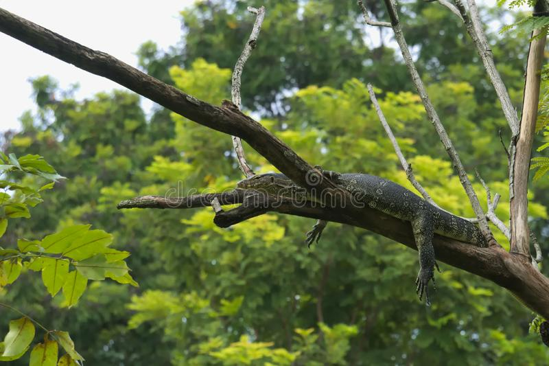 A strange, unusual and somewhat alarming sight of a large monitor lizard, high up in a tree. A strange, unusual and somewhat alarming sight of a large monitor royalty free stock photo