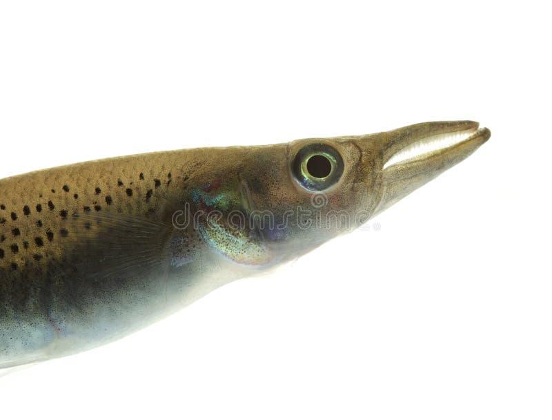 Pike Killifish closeup on white royalty free stock photo