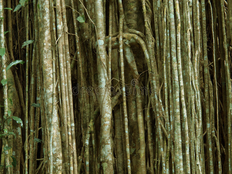 Strangle fig stock photo