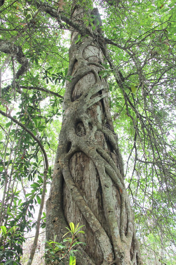 Strangler Fig royalty free stock photography