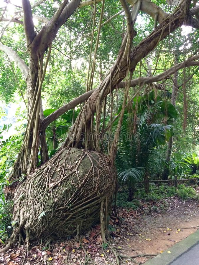 Free Strangler Fig Stock Photos - 53473203