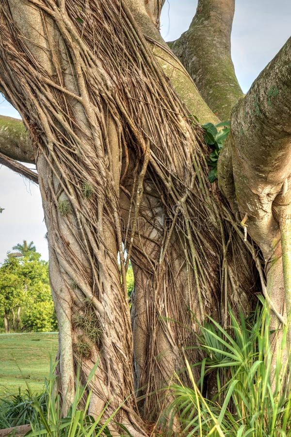Free Strangler Fig Ficus Aurea Winds Its Way Around The Trunk Of An O Stock Photo - 117678790