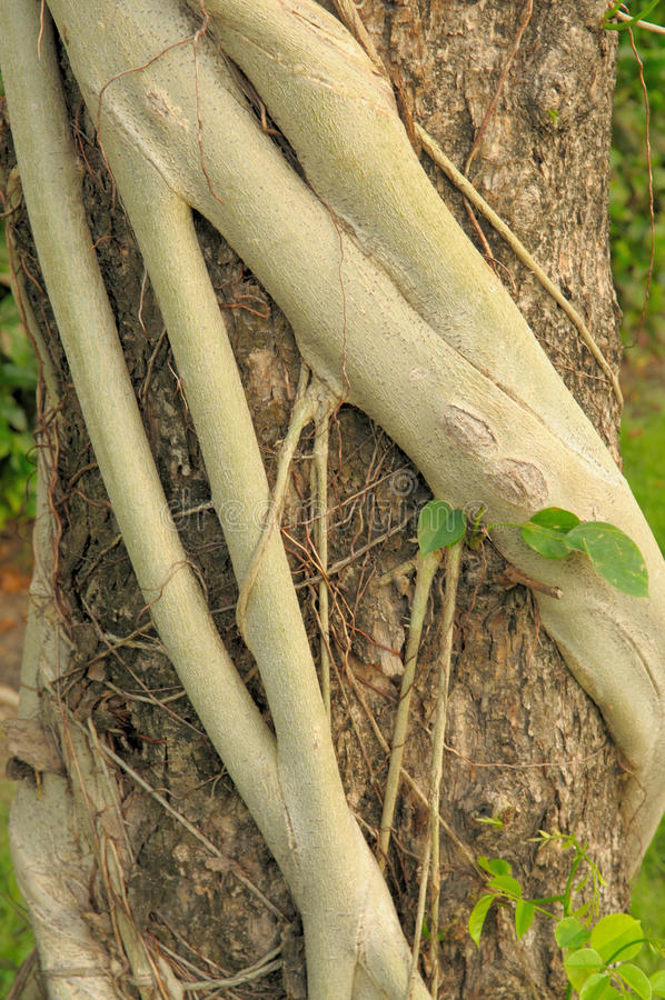 Strangler Fig Roots Strangle A Cypress Tree Royalty Free Stock Images