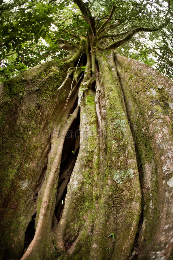 Free Strangler Fig Tree Royalty Free Stock Image - 15695026