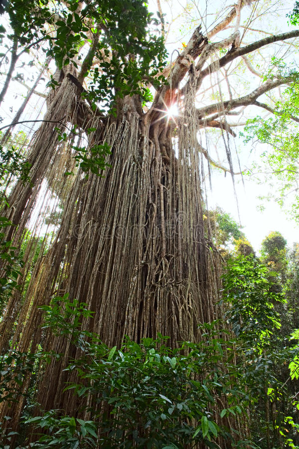 Free Strangler Fig Tree Gigantic Rain Forest Tree Royalty Free Stock Photo - 21611165
