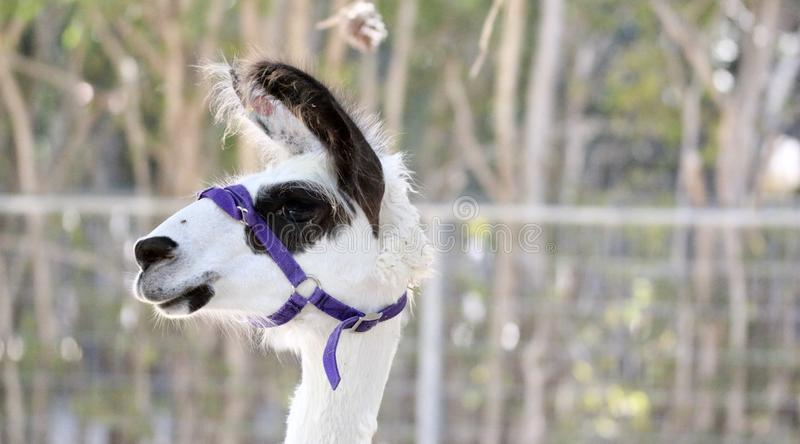 Funny looking Llama. Strapped with a purple strap on its face, looking to the side llama royalty free stock photos