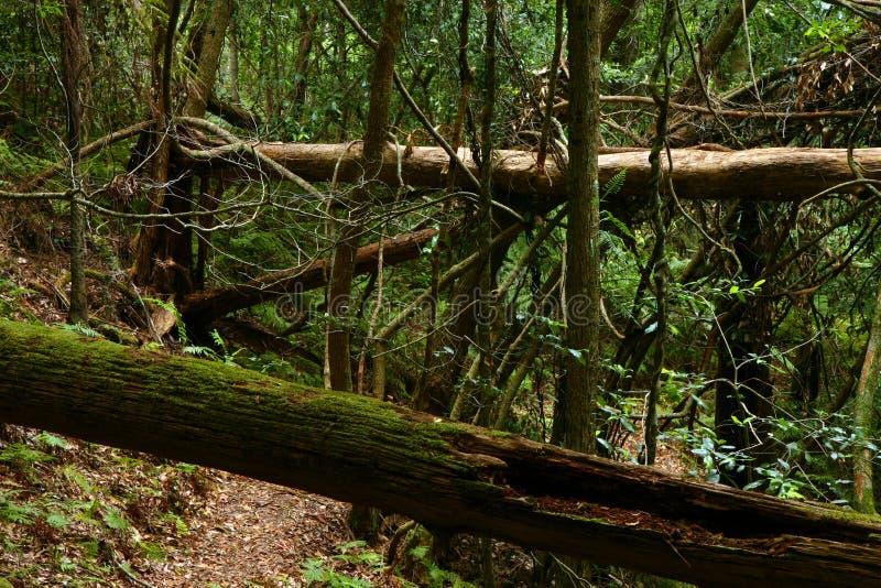Strascichi in foresta pluviale fotografia stock