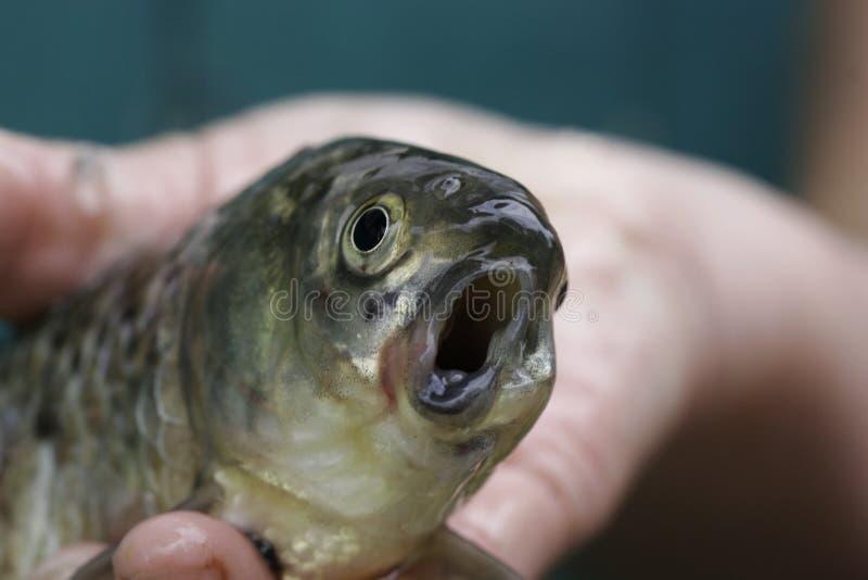 Straszna ryba z koślawym usta w ręce rybak zdjęcia stock
