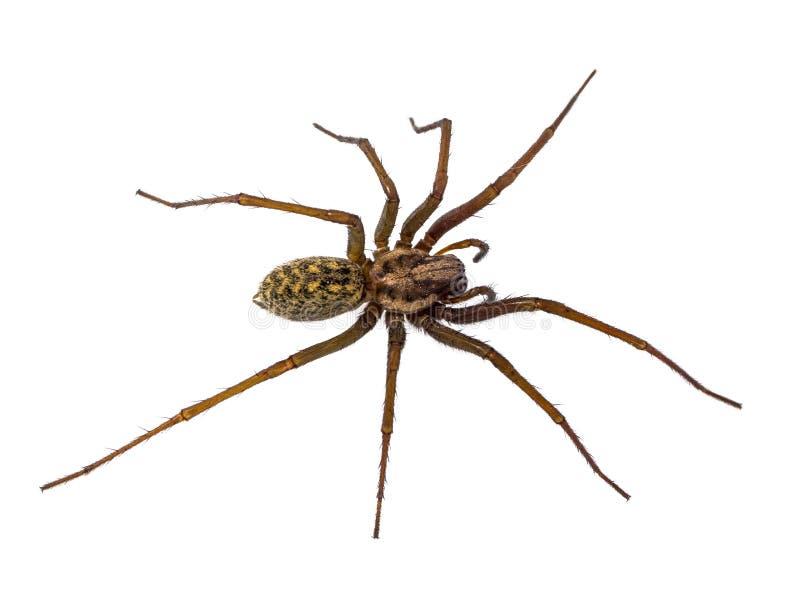 Straszny Domowy pająk odizolowywający na bielu zdjęcia stock