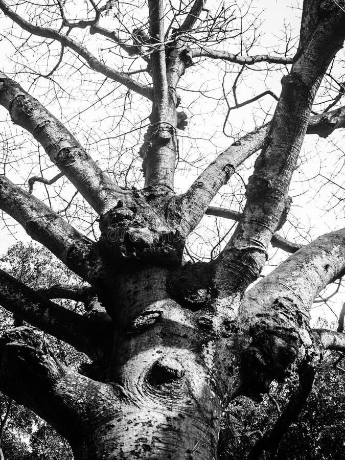 straszny drzewo obraz royalty free