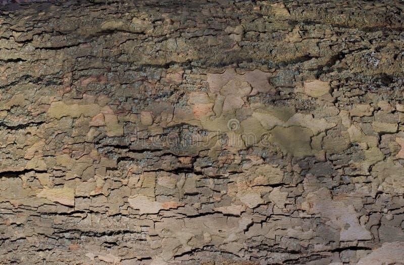 Strati della corteccia su un tronco di albero vivente fotografie stock libere da diritti