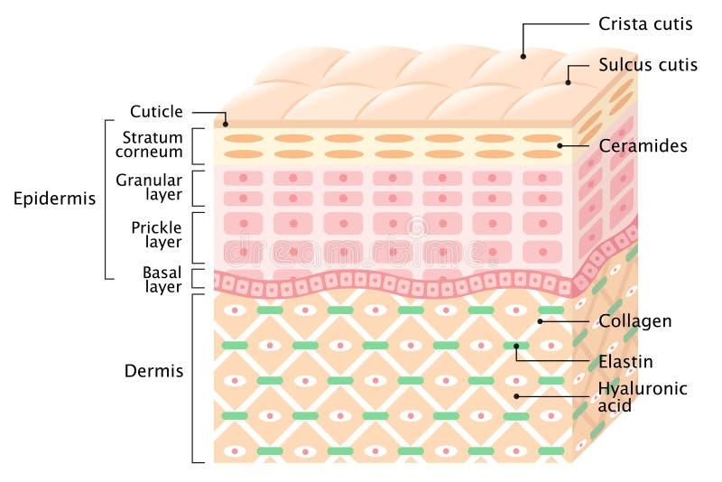 strati della pelle umana Concetto di cura di pelle illustrazione di stock