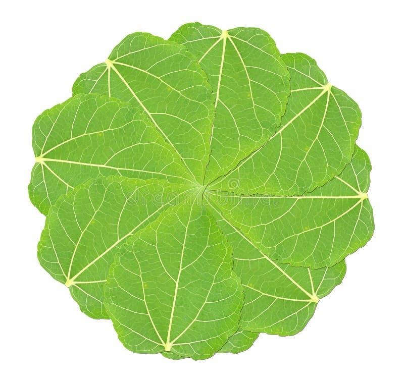 Strati delle foglie verdi del gelso su fondo bianco fotografie stock libere da diritti