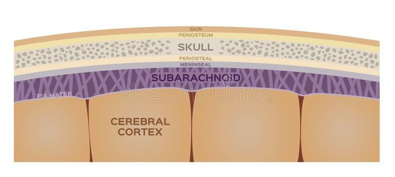 Strato del cervello/organo umano e concetto di anatomia illustrazione di stock