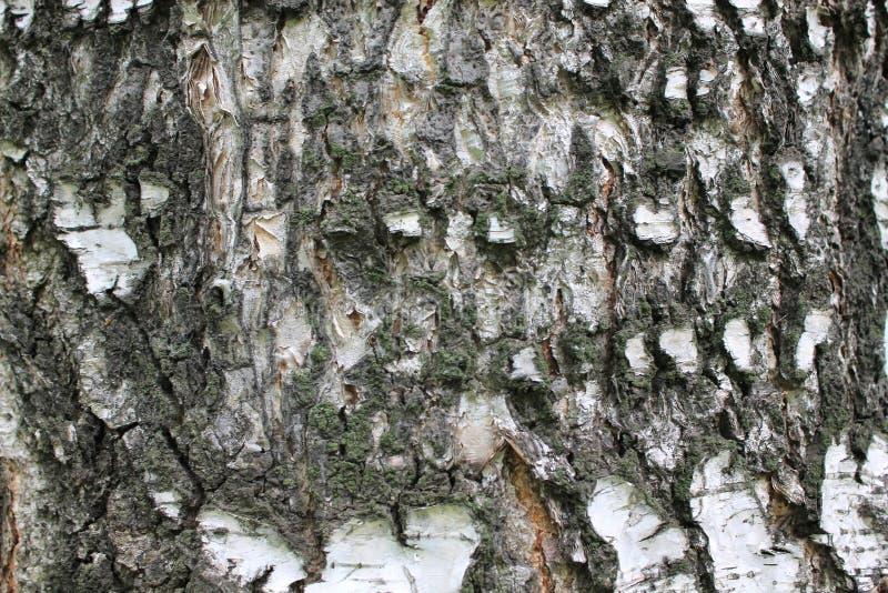 Strato protettivo esterno della corteccia- della betulla della corteccia di betulla fotografia stock