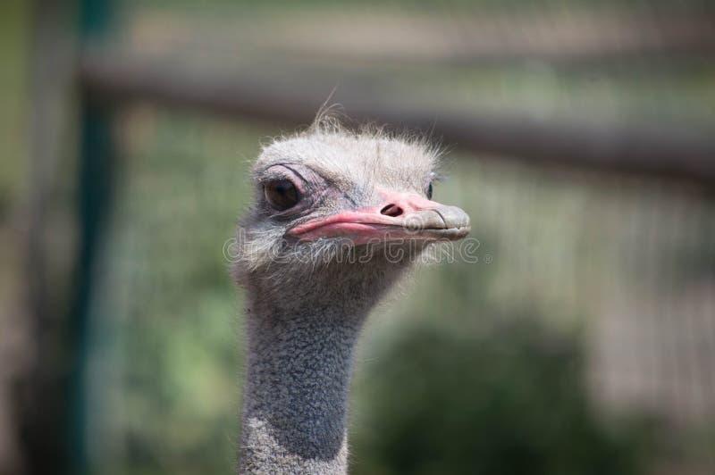 Strauß an Blackpool-Zoo stockfotografie