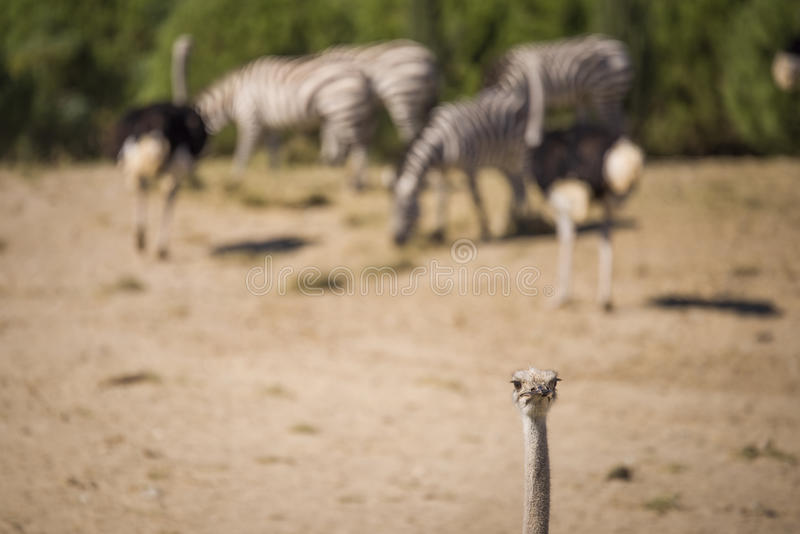 Strauß in einem Nationalpark lizenzfreie stockfotos