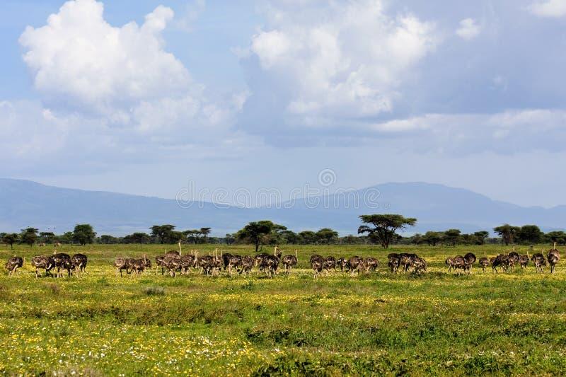 Strauß-Herde in Serengeti stockfotografie